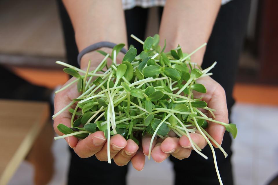 микрогрин как выращивать