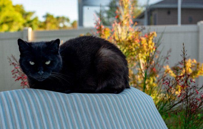 черная кошка суеверия