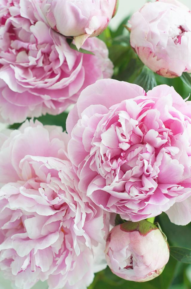 пионы цветы фото