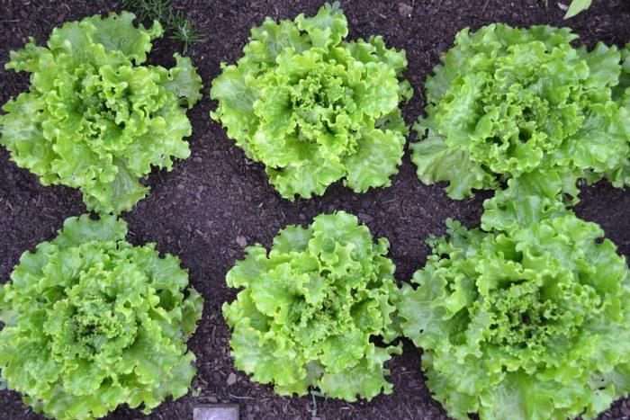 зеленый салат батавия