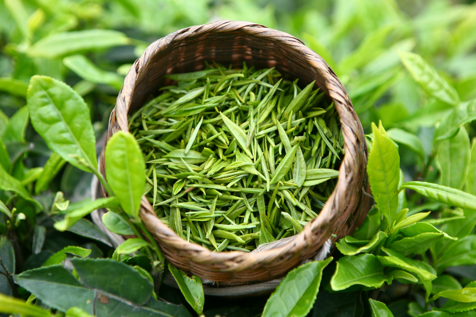 Польза и вред зеленого чая: все о свойствах любимого всеми напитка