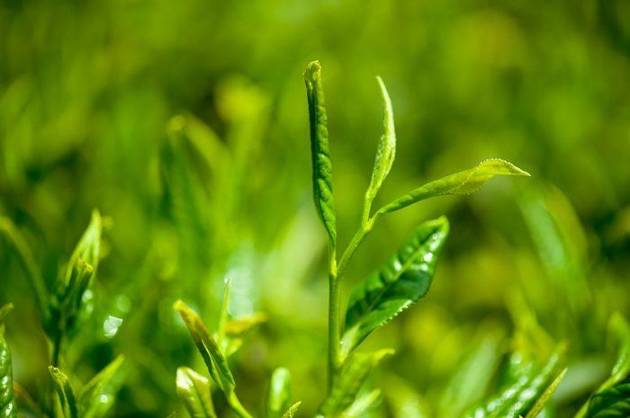 Противопоказания зеленого чая