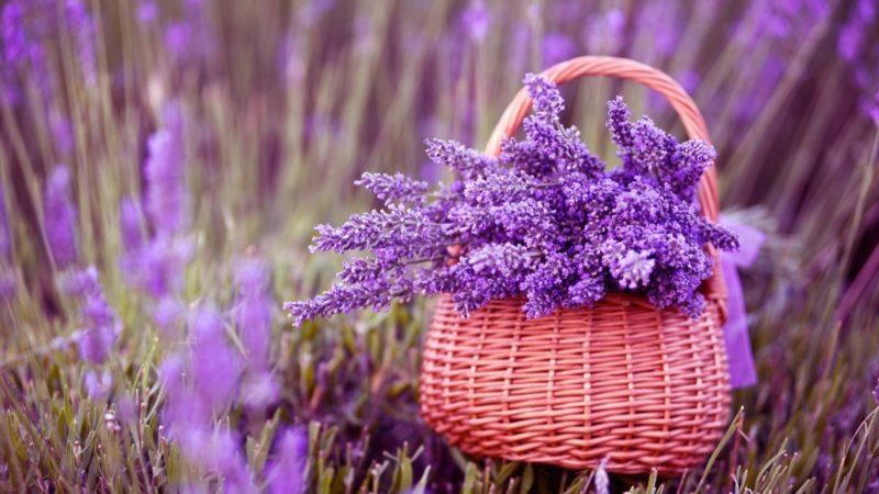 Лаванда: свойства и применение ароматного растения