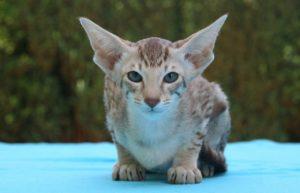 гипоаллергенные коты породы