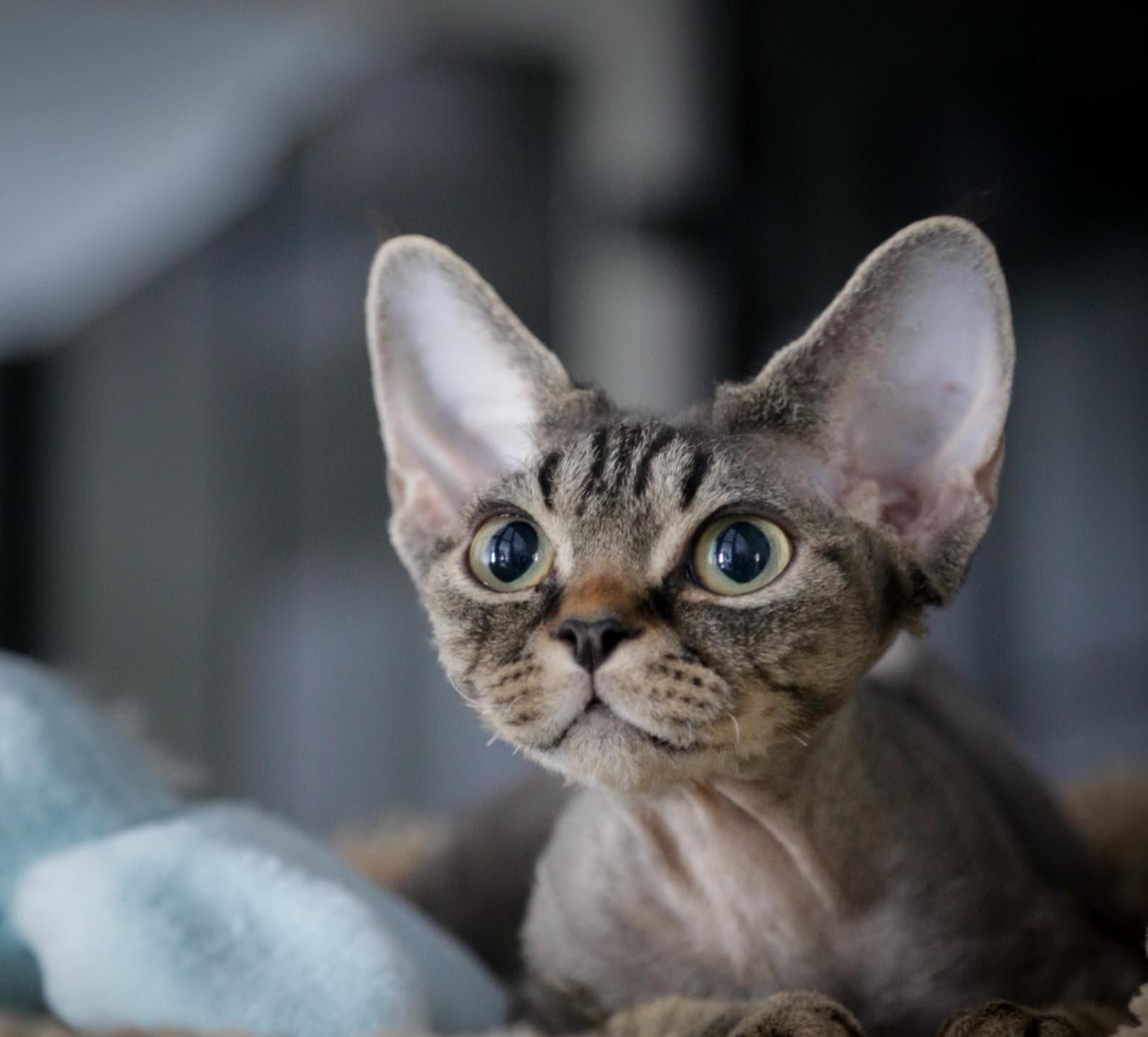 неаллергенные породы кошек