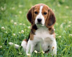 породы собак для детей и охраны