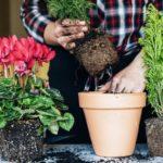 Как пересаживать комнатные цветы: главные правила пересадки