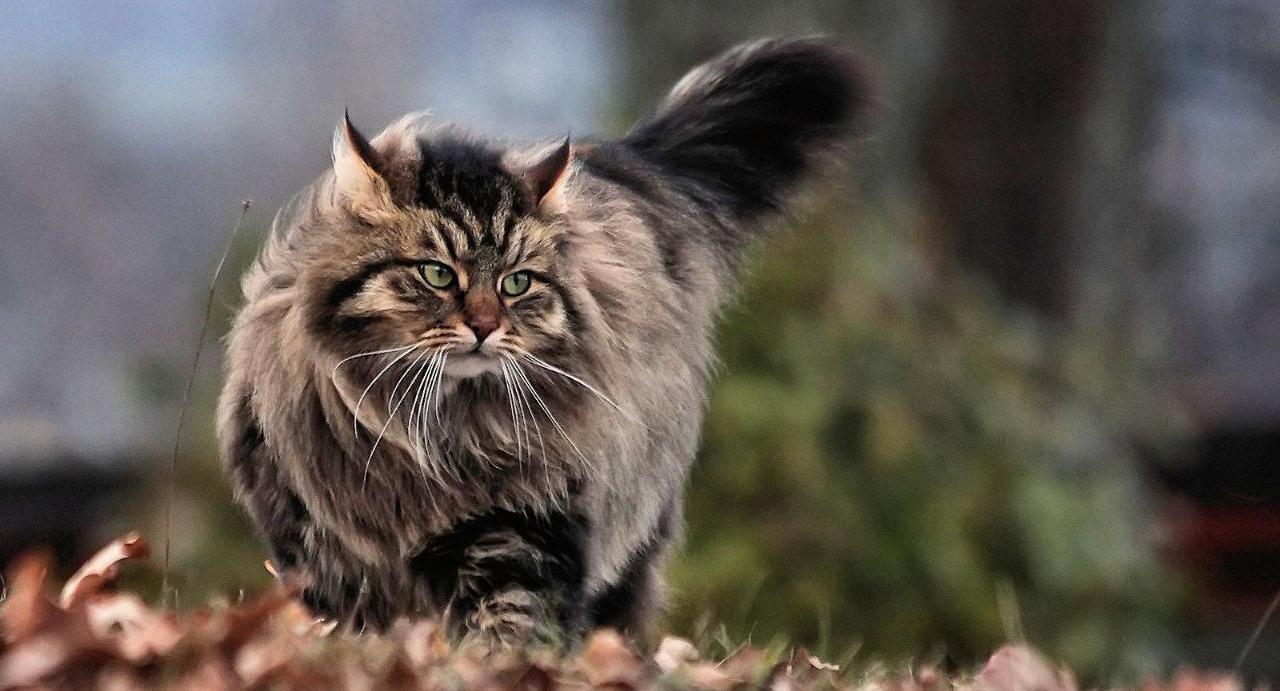 сибирская кошка купить