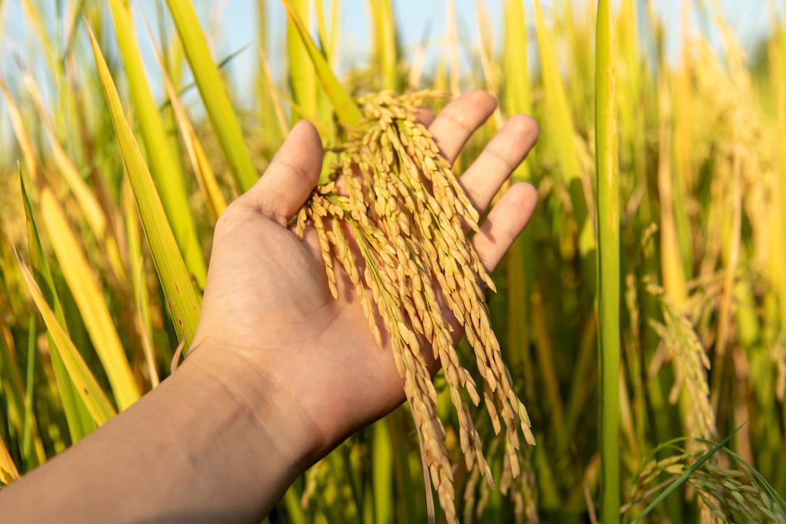 Масло зародышей пшеницы польза и применение