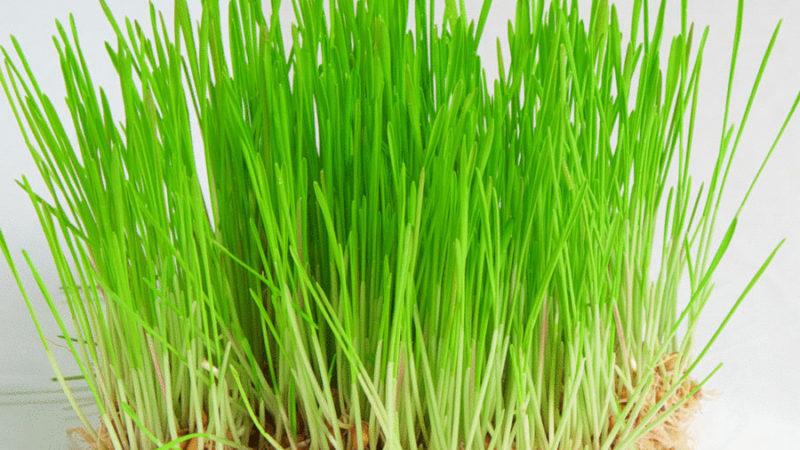 польза и вред масла зародышей пшеницы