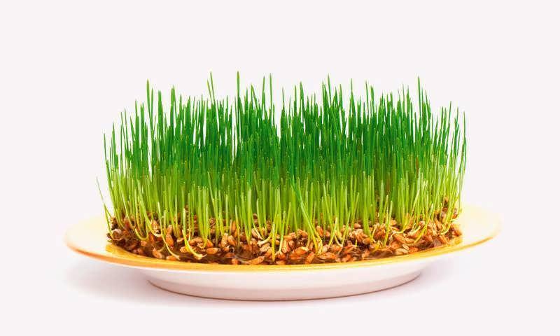 свойства масла зародышей пшеницы