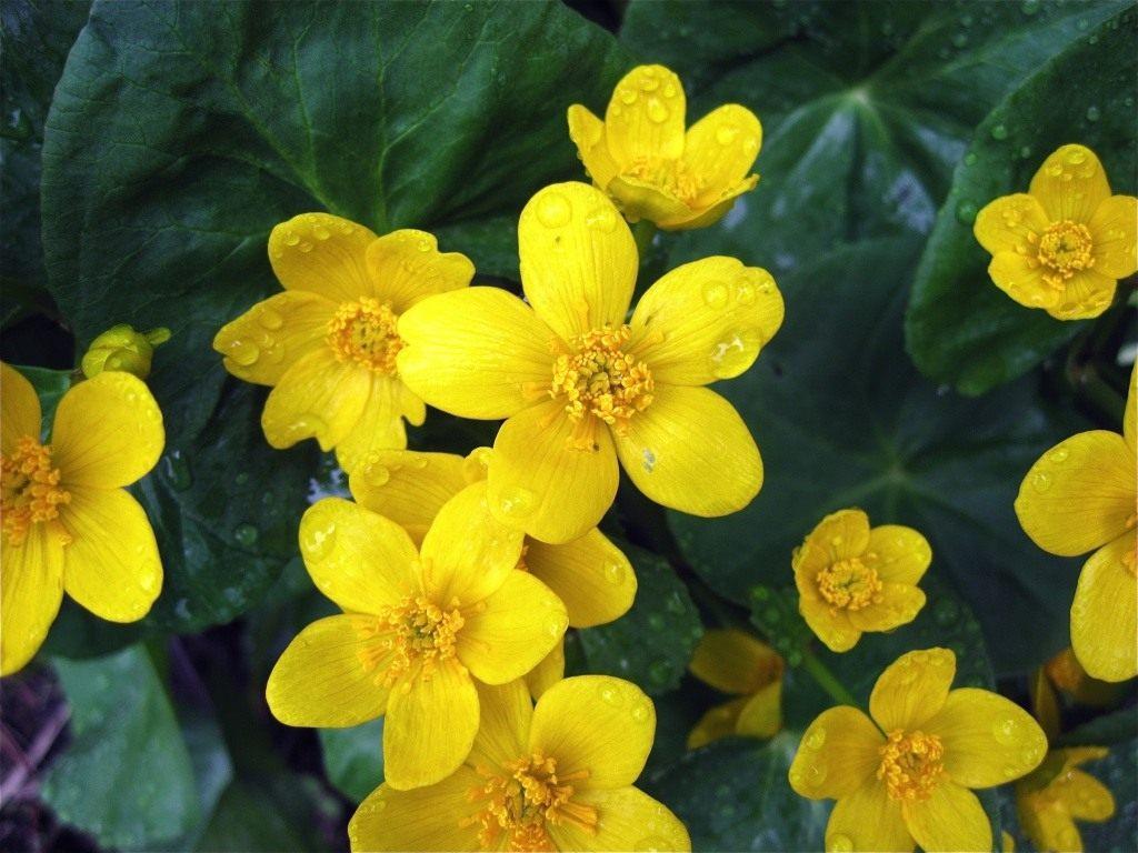 Клубни и луковицы цветов купить с доставкой по Украине