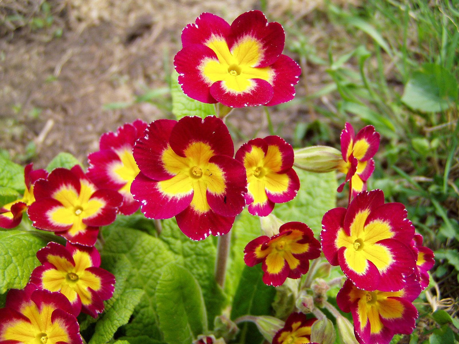 Купить луковицы цветов дешево почтой в Украине