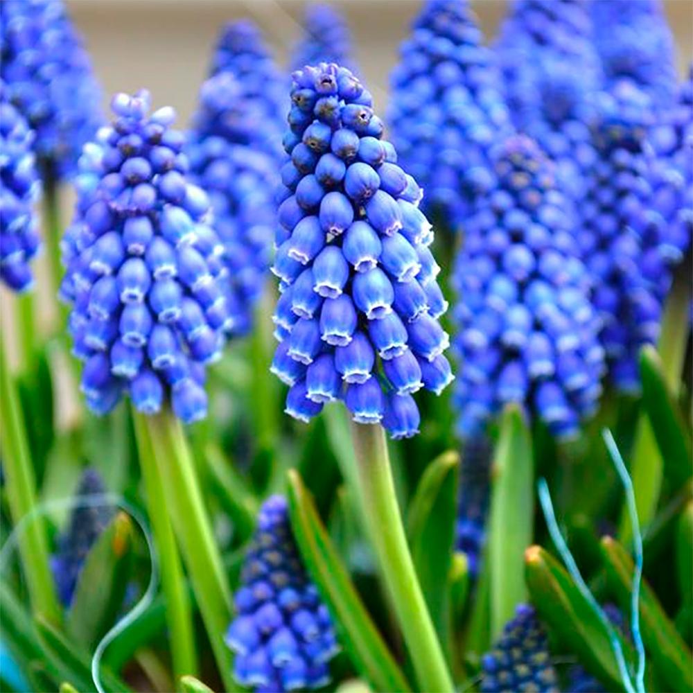 Купить луковицы цветов сезон весна