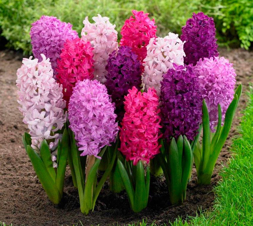 Луковичные цветы купить луковицы цветов в интернете