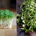 Как вырастить микрозелень на своем подоконнике