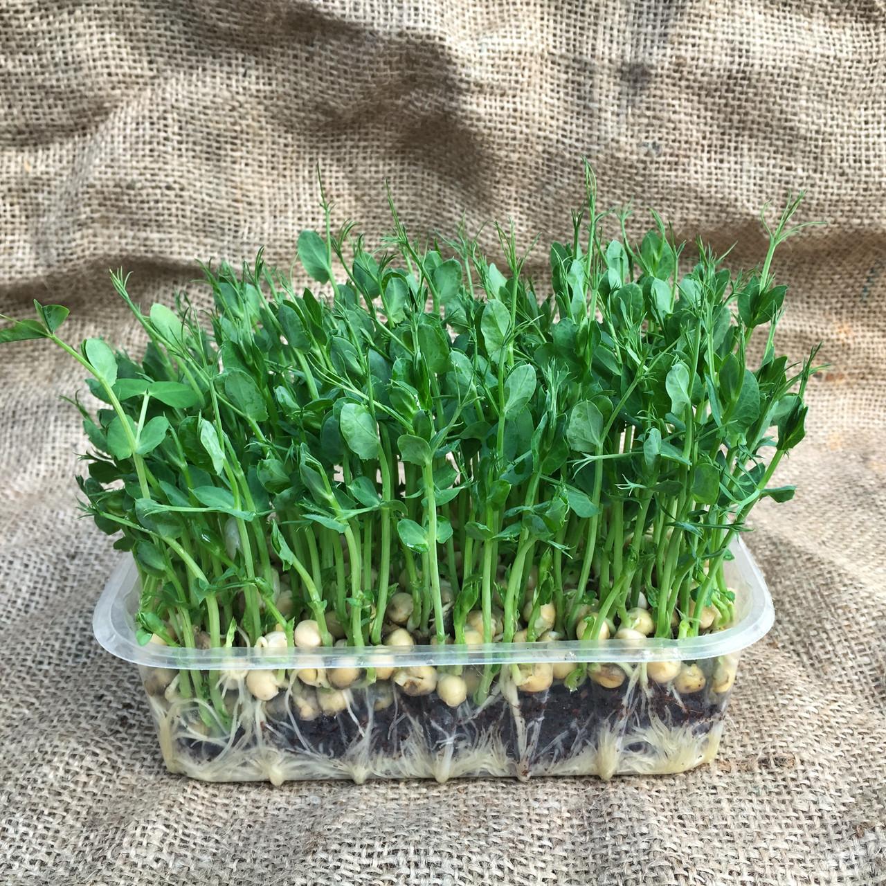 как вырастить микрозелень дома