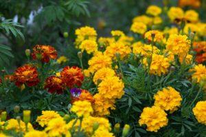 какие цветы высаживают весной