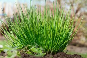 лук шнитт выращивание