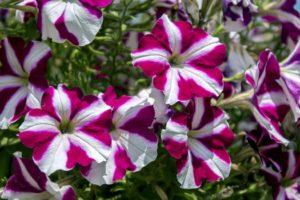 высаживаем цветы на даче