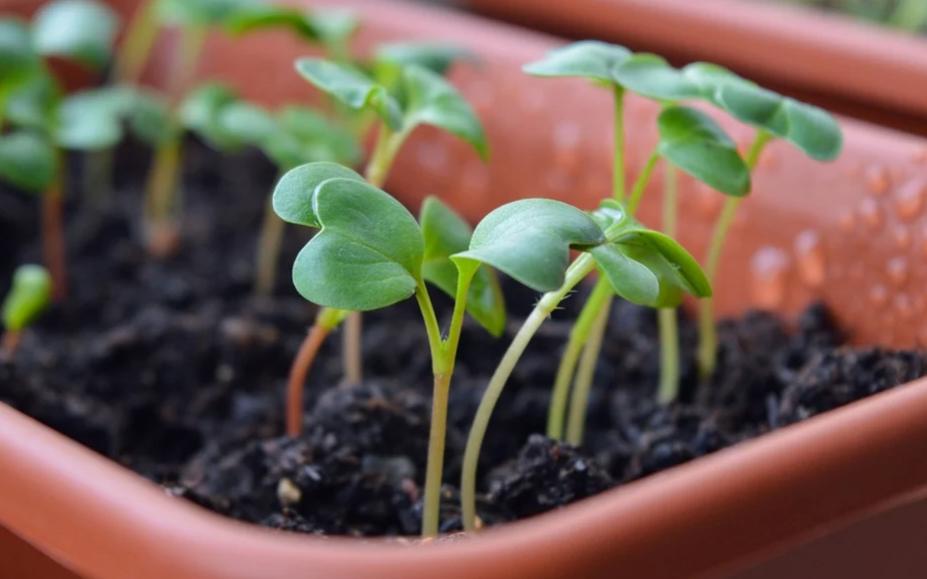 микрозелень без земли
