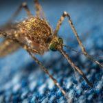 Комары: эксперты развенчали главные мифы и озвучили опасность этих насекомых