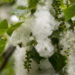 Вызывает аллергию и переносит коронавирус? Иммунолог развенчала мифы о тополином пухе