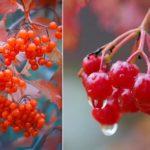 Калина: целебные свойства ягоды и рецепт приготовления