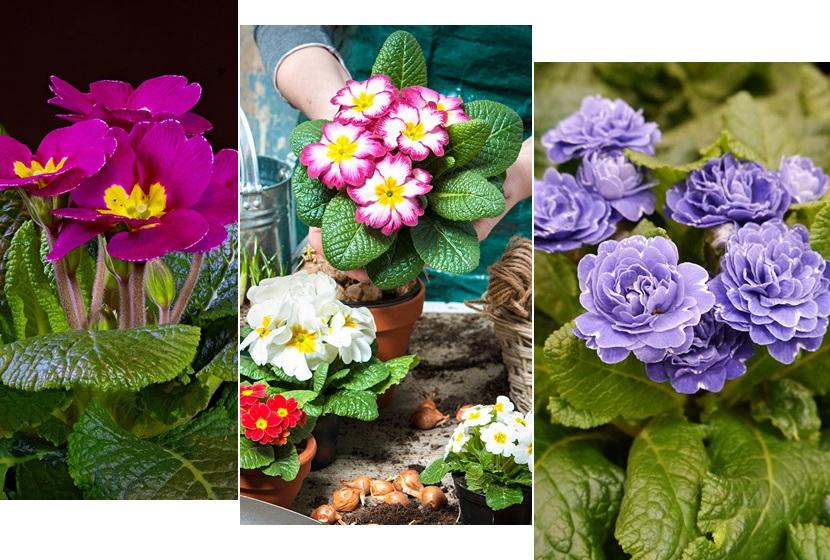 День примулы: порция цветочного вдохновения к празднику