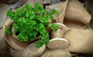 польза петрушки для здоровья