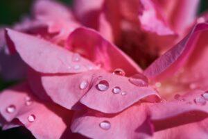 конфитюр из роз