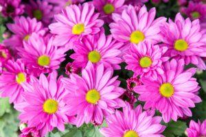 день хризантемы