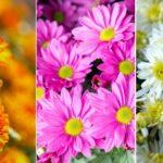 День хризантемы: порция красоты в честь осеннего праздника